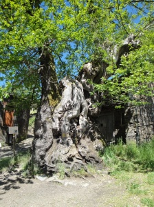 More than 800 year old chestnut tree as we enter Triacastela.