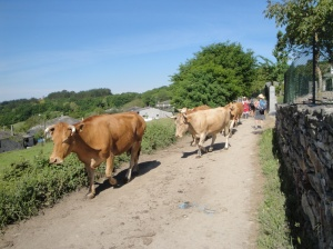 Sharing the Camino with ever present cows in this part of Galicia.