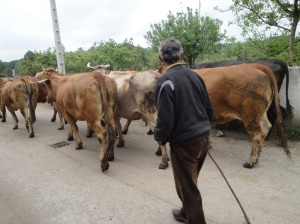A Galician dairy man walking his cattle on the Camino.